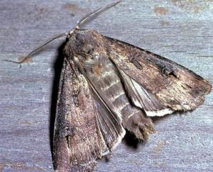 Güve, odun, kumaş ve kürk gibi şeylere musallat olan çeşitli cinsten böcek ve kurtçuklara verilen ortak ad. Hiç de zararlı gibi görünmüyor!